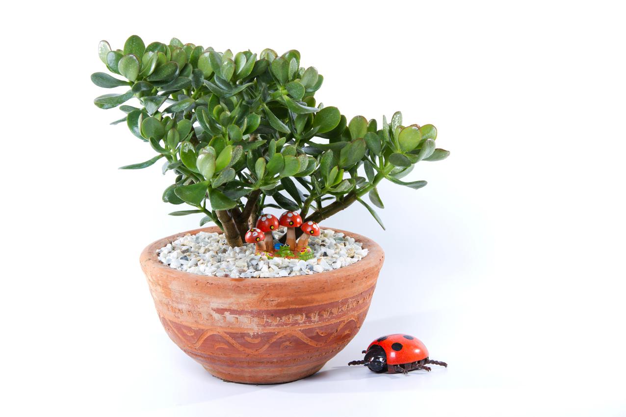 arbol de jade